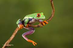 Red eye tree frog D75_7156.jpg (Mobile Lynn) Tags: amphibian frog nature redeyetreefrog captive agalychniscallidryas fauna wildlife bournemouth england unitedkingdom gb coth soecanimal ngc