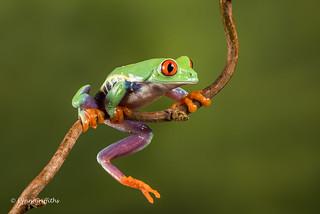 Red eye tree frog D75_7156.jpg