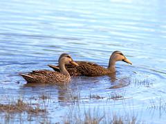 Mottled Ducks 20170422 (Kenneth Cole Schneider) Tags: florida miramar westmiramarwca