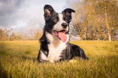 DSCF3803 (donnyhughes) Tags: dog dogs border collie cumbernauld glasgow scotland fuji xt1