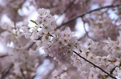 Cherry Blossoms (careth@2012) Tags: flower flowers spring petals nature cherryblossoms