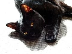Baby (knightbefore_99) Tags: cat chat gato black noir rest kitten baby golden eyes sweet feline sun sol light pretty watch