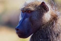 Mr Handsome (leendert3) Tags: chacmababoon ngc npc leonmolenaar krugernationalpark southafrica nature wildlife mammals