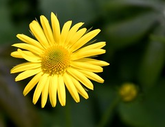 Yellow Flower (NettaT) Tags: flower yellow petals nature floral green plant outdoor