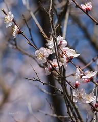 ... (Nataša Bandović) Tags: spring guelph ontario canada warm blossom trees awakening revival soft cherryblossom natasabandovic natasabandovicphotography nature canondslr outdoors