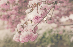 everything is fleeting (auntneecey) Tags: snow spring beauty aprilshowersbringmayflowers 365the2017edition 3652017 day118365 28apr17 snowyflowers