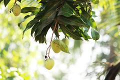 IMG_9091 (Nikhil Thomas Thannikkodan) Tags: mangoseason mango green canon 20250mm lens wayanad kerala india sultan bathery kalpetta home