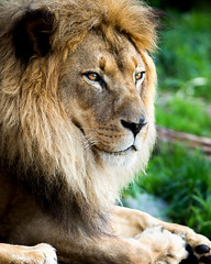 Head of State (Paul E.M.) Tags: sanfranciso sf lion zoo sfzoo africa king monarch cat feline