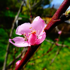 DSC06974 (omirou56) Tags: 11 sonydscwx500 macro nature natur natura tree trees blossom greece δεντρα δεντρο φυση ανοιξη κοντινο ελλαδα 2017 outdoor pink ροζ λουλουδι ροδακινιά