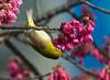 Meijiro Drinking Plum Blossom Nectar (aeschylus18917) Tags: danielruyle aeschylus18917 danruyle druyle ダニエルルール japan 日本 鳥 nature bird passeriformes meijiro zosteropidae zosteropsjaponicus japanesewhiteye メイジロ spring plum prunus blossoms nectar flowers 花 park garden 九州 kyushu 鹿児島市 kagoshima 80400mm plumblossoms pxt birdperfect