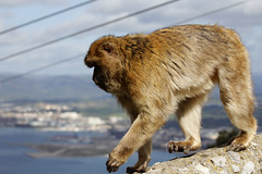 Barbary Ape (0289) (shelleyK2) Tags: gibraltar therock barbaryape mammal macaque