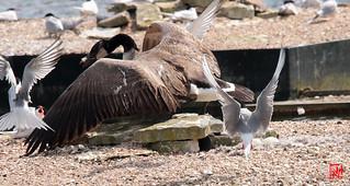 L'abandon du nid de la bernache du canada après des dizaines de vols en rase-motte des sterns