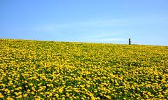 A sea of yellow (Wouter de Bruijn) Tags: fujifilm x100t fujinon23mmf2 flower flowers dandelion dandelions nature outdoor vlissingen walcheren zeeland nederland netherlands holland dutch dyke levee bluesky