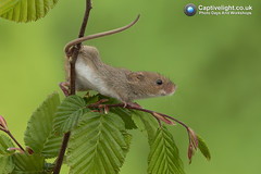 Harvest Mouse (Miles at Captivelight) Tags: animals wildlife nature macro micromys harvest mice studio cute 2017