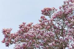 Danse autour du magnolia 22/22 (Emmanuel Cattier -) Tags: magnolia arbre arbreenfleur tree fleur fleursetplantes flower france strasbourg alsace grandest floraison lumière printemps cattier emmanuelcattier manusoft
