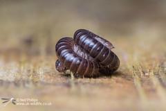 Millipede-4 (Neil Phillips) Tags: 1000 diplopoda millipede myriapod myriapoda arthropod arthropoda legs