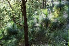 Bushwalking through the grass trees (NettyA) Tags: 2017 australia cunninghamsgap gapcreekfalls mainrangenationalpark qld queensland bushwalk scenicrim grasstrees xanthorrhoea plant flora backlight