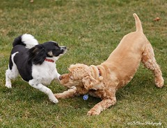 Playtime never ends with these two! (Denise Trocio (D Trocio Photography)) Tags: dogs playtime outdoors jasper luckycharm americancockerspaniel papillon animals domesticatedanimals friendship boys