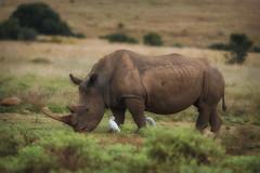 White rhino (johannekekroesbergen) Tags: africa rhinoceros safari endangeredspecies mammal wildlife neushoorn whiterhino nature pilanesberg renoster big5 animal