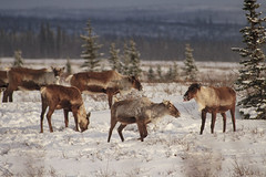 One in Every Crowd (blkwolf1017) Tags: caribou tongue donnelly flats deltajunction winter herd browsing alaska canon20d sigma80400mm