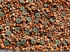 Lophophora young plants (Skolnik Collection) Tags: young plants lophophora succulent cactus mexico skolnik collection propagation fitotron fytotron macro photo digital camera benq selected hybrid multi flower detail nature close