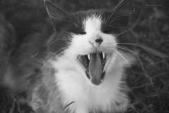 Bostezo (RIP) (Conserva tus Colores) Tags: rip love catlovers photographers nostalgia blancoynegro blackandwhite canon meow bostezo retrato portrait originalphotographers
