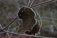 Kiesteich (shaolino) Tags: eingefroren frieren winter kalt eis wiese ast äste blatt weis verwelkt macro tiefenunschärfe d3200 nikon cold wingter ice frozen freeze wihte sheet withered meadow natur nature