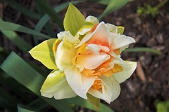 Daffodil Wow (MissyPenny) Tags: daffodil spring southeasternpa bristolpennsylvania double layered fuffles