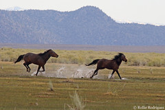 Wild Horses, Adobe Valley, California (rollie rodriguez) Tags: wildhorses adobevalley california