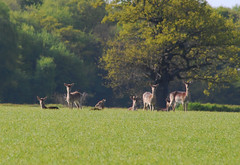 Red Deer, watching us near Holbrook, Suffolk (neil mp) Tags: freston holbrook deer reddeer suffolk cervuselaphus grazing oak wood field spring