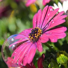 bubble (Tomsch) Tags: flower flowers blume lumen natural nature naturelover naturliebhaber closeup nahaufnahme color farbe garden tropfen droplets seifenblase