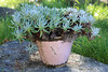 Dudleya 'Anacapa' (MGormanPhotography) Tags: dudleya anacapa crassulaceae succulent perennial liveforever gray green blue foliage