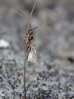 wasp indet. (climbing a hair upon feces)