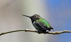 Anna's Hummingbird - Male (kenyoung3) Tags: calypteanna annashummingbird alaksennationalwildlifearea westhamisland deltabc canada hummingbird sentinel male