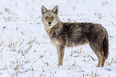 Little Red Deer Coyote (JB Bar) Tags: backroads alberta watervalley canada ca