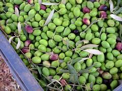 MENARA OLIVES (Honevo) Tags: honevo hönevo menara olives olive moroco africa green