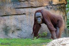 Orangutan (parry101) Tags: animal animals tampa flordia us usa america busch gardens buschgardens nature outdoor geraint parry geraintparry orangutan orangutans great ape apes greatape greatapes