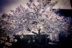 Blossoming 13/30 (rmrayner) Tags: cherryblossom sunburst sun spring tree blossom topazadjust 1330 30daysofapril sliderssunday