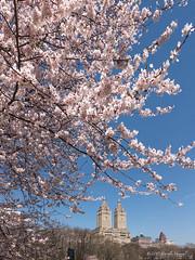 Towering Blossoms (CVerwaal) Tags: blossoms centralpark sanremo spring newyork ny usa fujifilmx100t