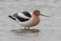 American Avocet (female) (Jeremy Meyer) Tags: americanavocet american avocet shorebird bird