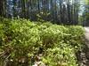 Blaubeere (Vaccinium myrtillus) (3), NGID62906491 (naturgucker.de) Tags: ngid62906491 naturguckerde blaubeerevacciniummyrtillus müritznationalpark cingebartholomäuskaelcke
