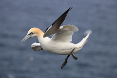 Skipping through the air. (blootoonloon1( No to Badger Cull)) Tags: gannet bird nature wildlife animal colours white yellow blue motion coast northsea scotland aberdeenshire rspb trouphead