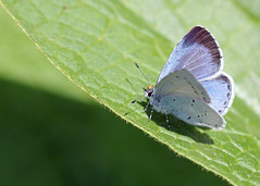 Holly Blue for Wing Wednesday! (RiverCrouchWalker) Tags: hollyblue celastrinaargiolus butterfly insect invertebrate april 2017 spring wingwednesday happywingwednesday leaf maldon chelmerandblackwaternavigation heybridgebasin essex