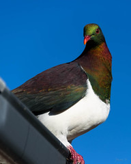 I Am Very Pretty (Jocey K) Tags: newzealand southisland canterbury akaora bankspeninsula sky nativepigeon kererū woodpigeon bird pigeon