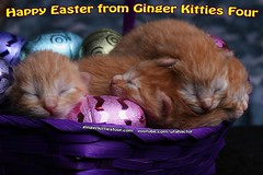 Happy Easter Kittens 2017 (youtube.com/utahactor) Tags: easter kittens gato chats chatons newborn cats pets animals mackerel tabby fur furbaby furbabies cute adorable precious darling basket purple eyesclosed gingerkittiesfour whiskers pink nose yellow red orange ginger canon 100mm macro