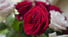 Red roses (JoCo Knoop) Tags: utrecht rose