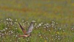 faucon champs (laurent_trinco) Tags: oiseau oiseaux bird birds faucon printemps spring nature natur vogel beauty dof blur bokeh color landscape paysage
