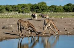 Angolan Giraffe's take a long drink at an Etosha Waterhole, east Etosha region of Namibia. (One more shot Rog) Tags: giraffe giraffes wildlife tallest large africangiraffes drink thirst etosha etoshanationalpark etoshawaterholes nature waterhole safari himba onemoreshotrog rogersargentwildlifephotography african animales