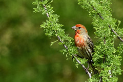 Finch in spring (fenicephoto) Tags: red