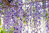 DSC_1561 (sayo-tsu) Tags: 藤 wisteria 牛島のフジ 春日部市 埼玉県 kasukabe saitama 特別天然記念物